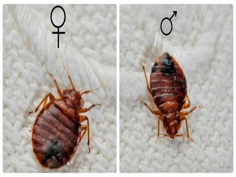 Виды клопов: обзор разновидностей / как избавится от насекомых в квартире