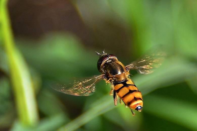Муха журчалка кусается или нет. муха-журчалка, притворяющаяся осой