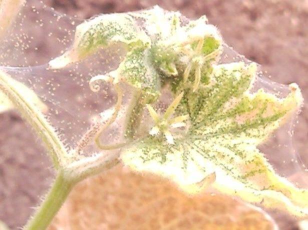 Паутинный клещ на комнатных растениях- средства и методы борьбы