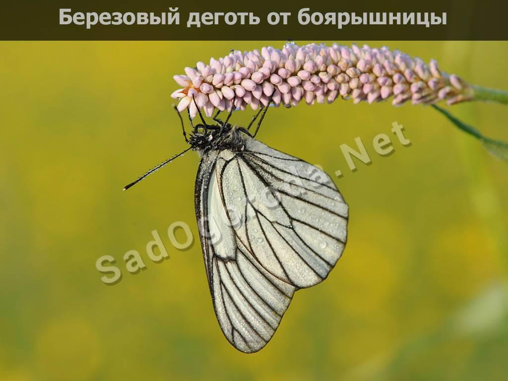 Боярышница: подробное описание бабочки, ее развитие и фото