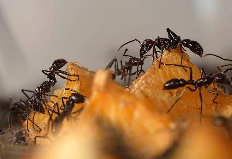 Чем и как уничтожить муравьев и муравейник