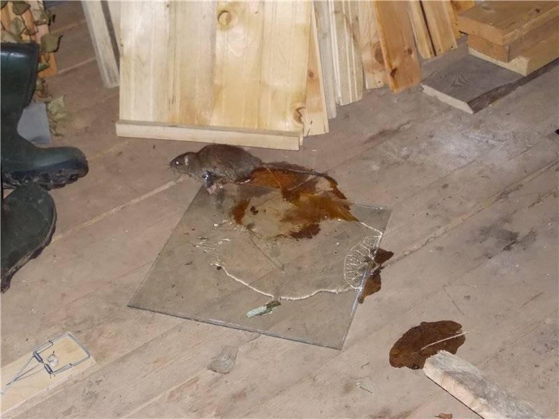 Надёжные способы избавления от крыс в курятнике