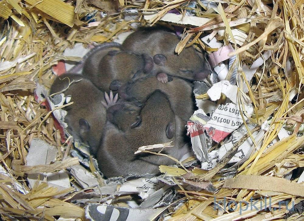 Чем декоративные мыши отличаются от диких, и как правильно содержать их дома