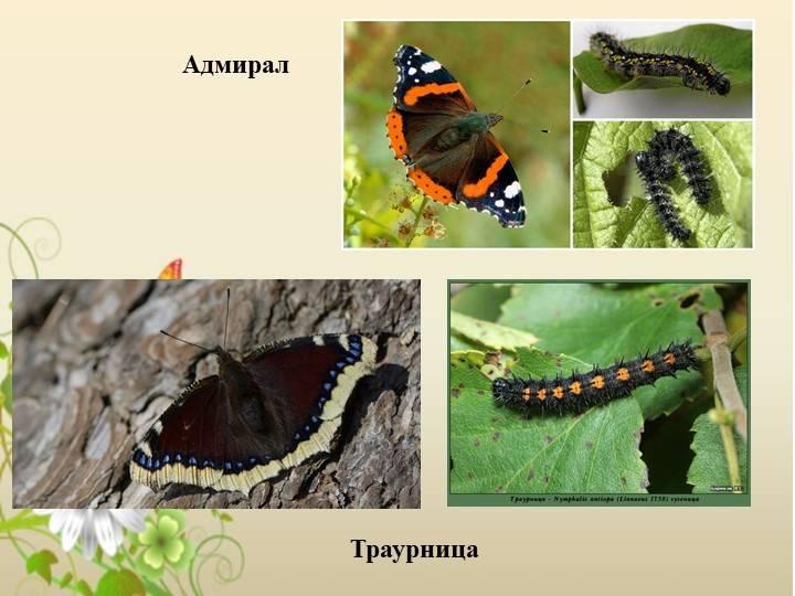 Бабочка траурница – неутомимая путешественница и любительница хмельных напитков