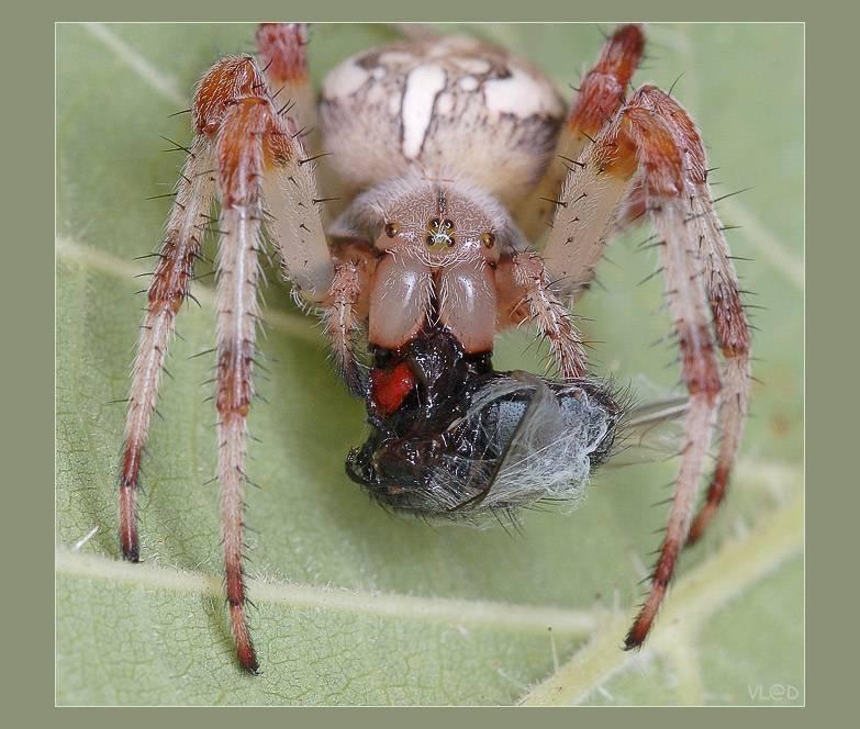 Крестовик паук. описание, особенности, виды, образ жизни и среда обитания крестовика | живность.ру
