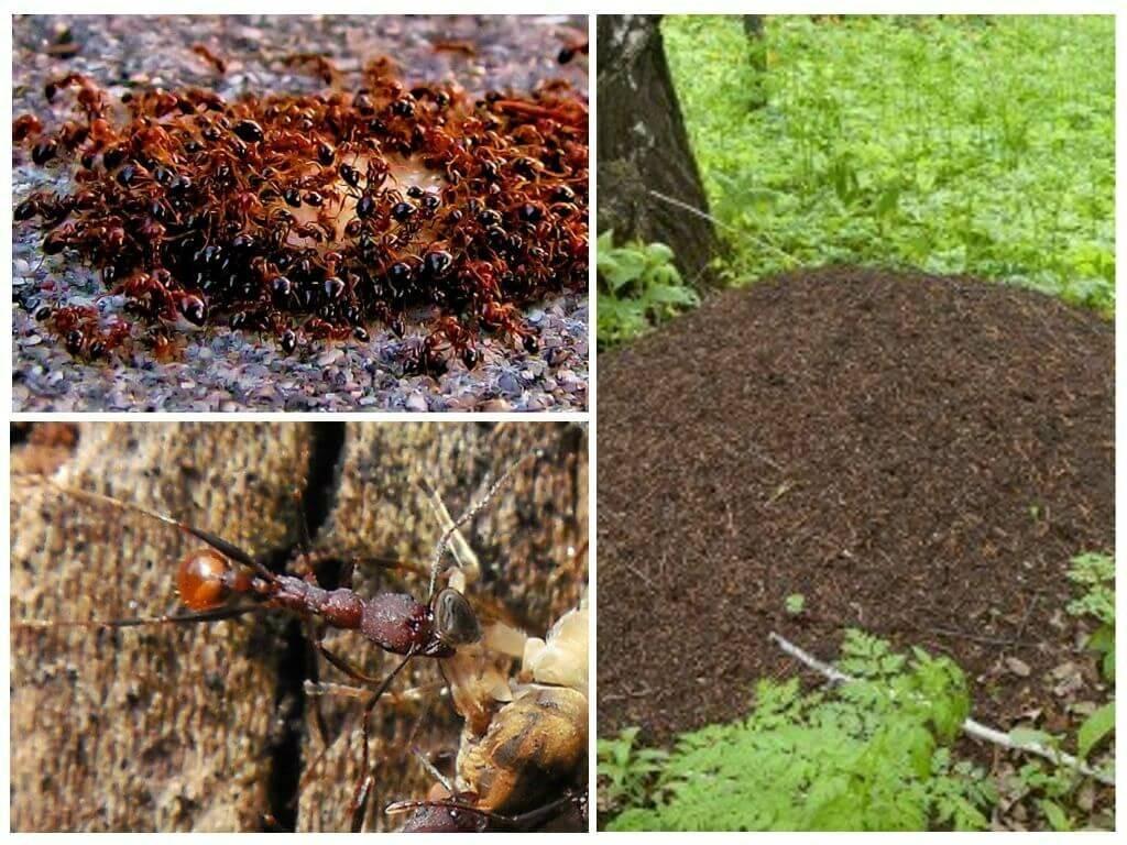 Размножение и стадии развития муравьев