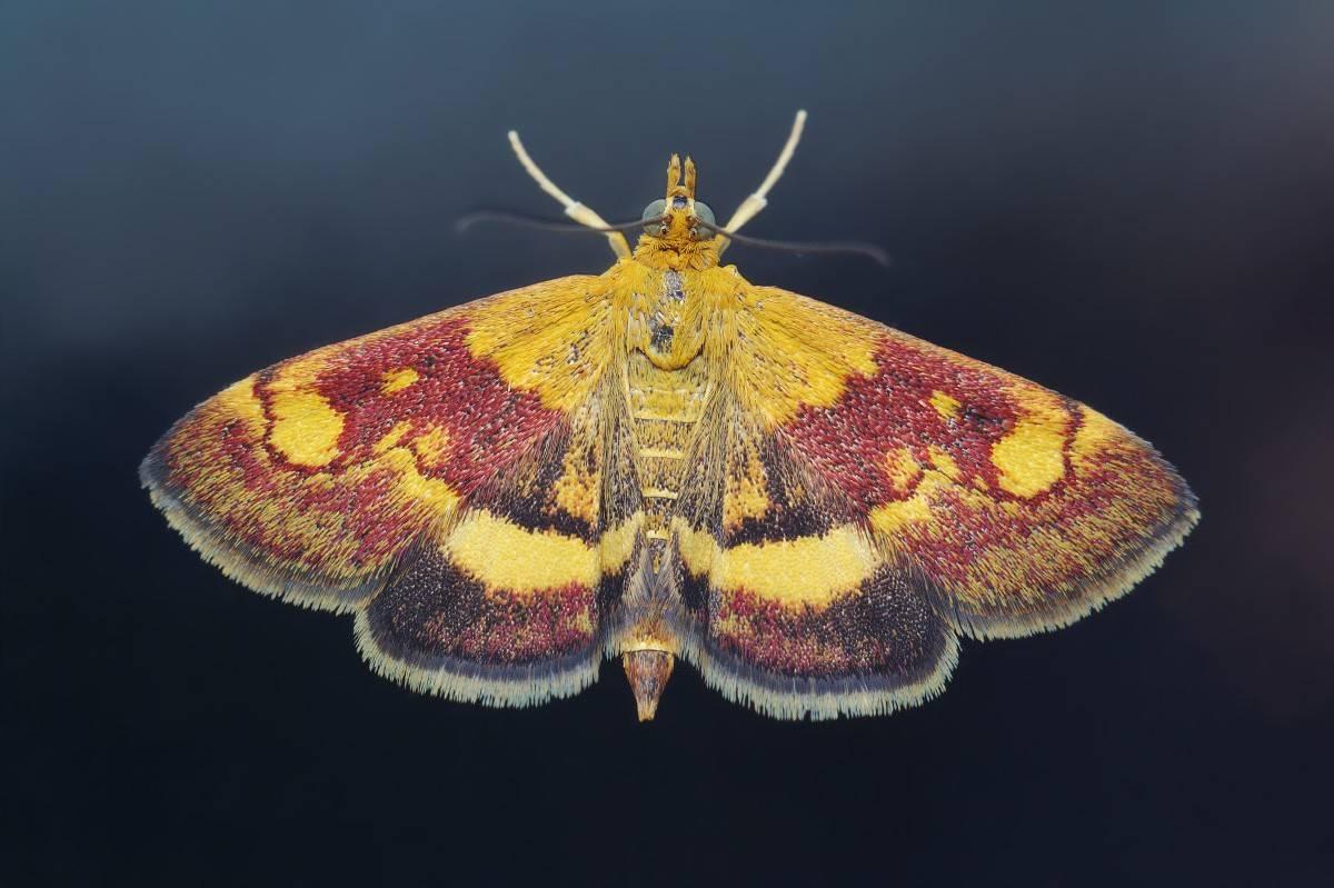 Бабочки-вредители растений - сэс
