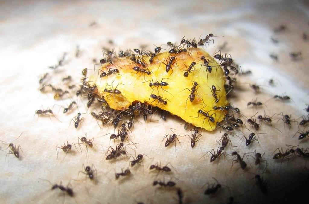 Как избавиться от муравьев в теплице: препараты, народные средства