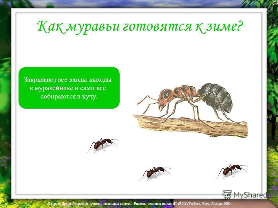 Как зимуют муравьи – питание, диапауза, спячка