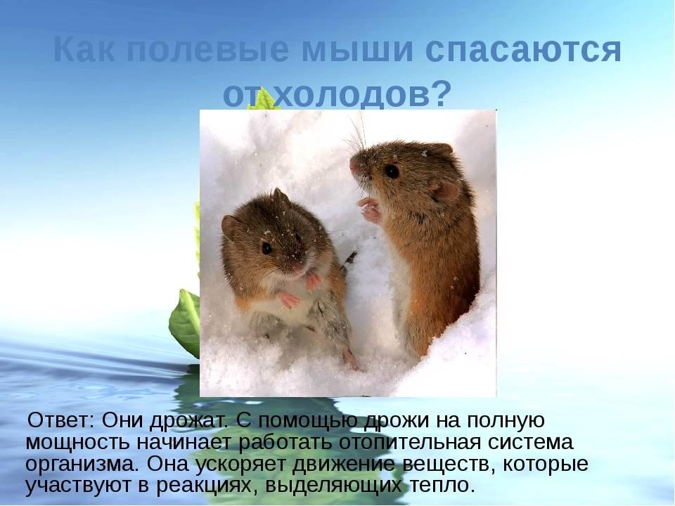 Вездесущие мыши-полевки
