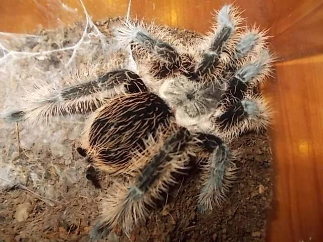 Паук-птицеед: содержание и уход в домашних условиях,фото,разведение | аквариумные рыбки
