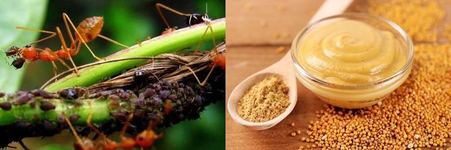 Применение горчицы и горчичного порошка против муравьев