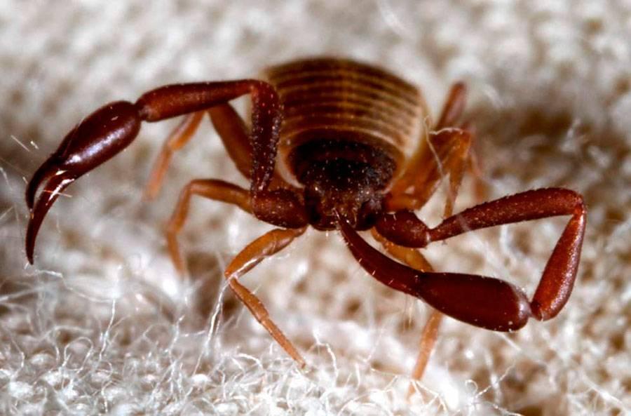 Насекомое с клешнями как у скорпиона. книжный ложноскорпион в квартире – опасное или безобидное насекомое? народные и химические средства борьбы с пылевыми клещами