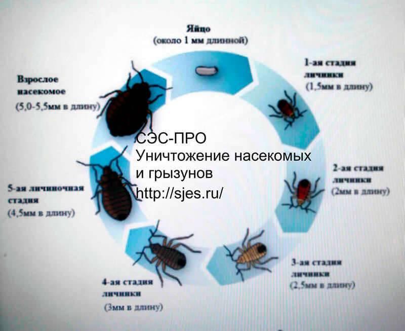 Как кусают клопы человека, как выглядит место, укушенное домашними постельными паразитами, кого и где атакуют, могут ли днем, как лечить и защититься от нападений?
