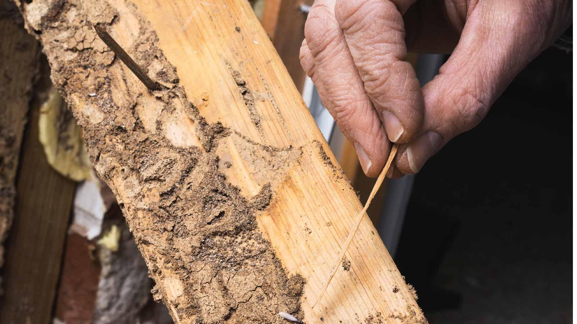 Жук точильщик – как обнаружить и вывести вредителя