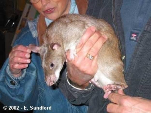 Ужасные или прекрасные крысы: что известно о символе 2020 года?