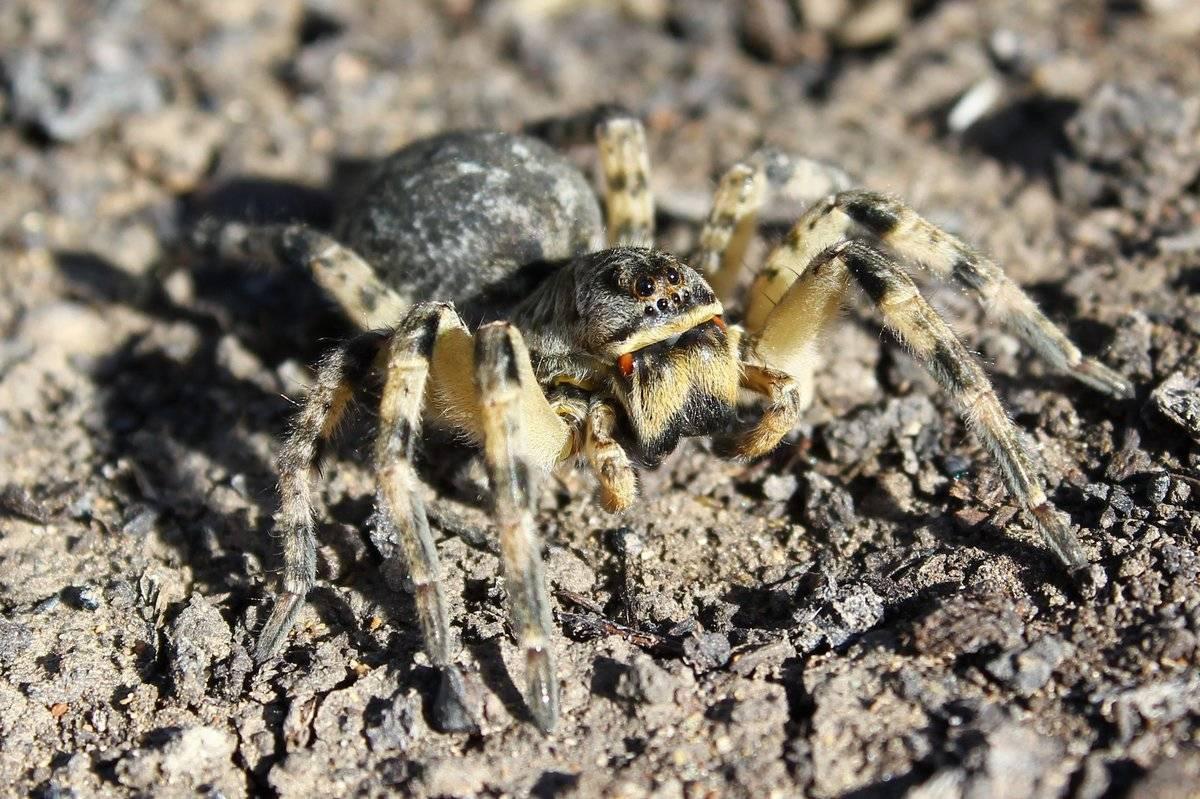 Южнорусский тарантул — википедия