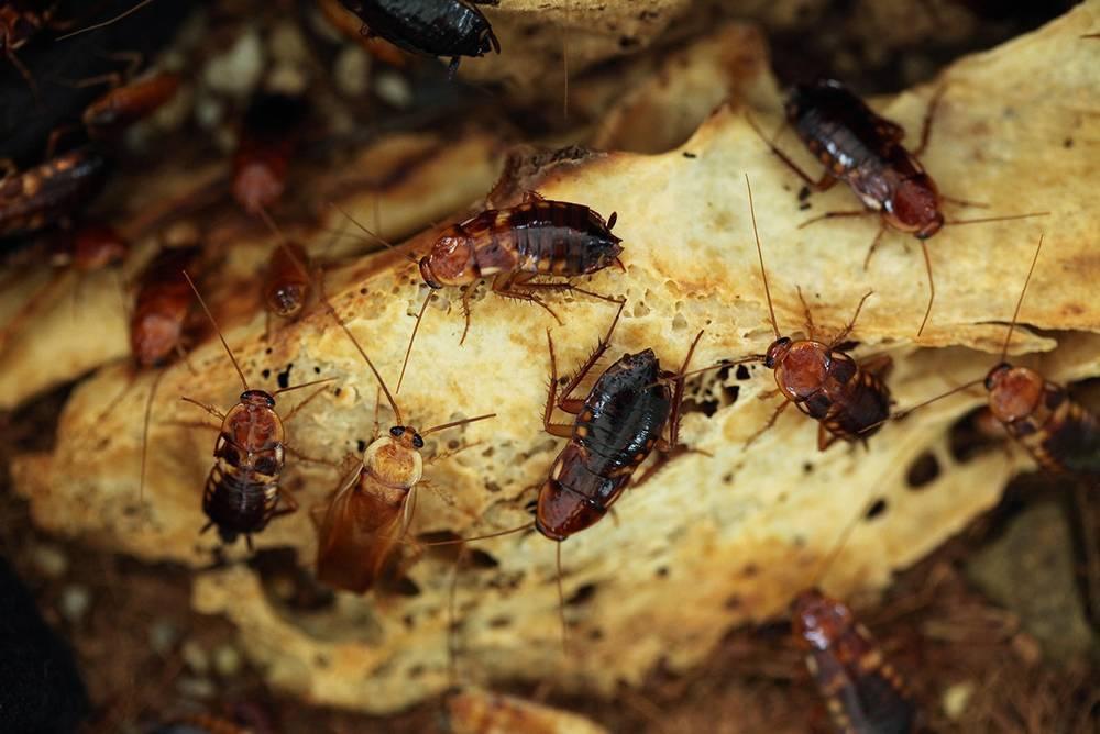 Что едят тараканы
