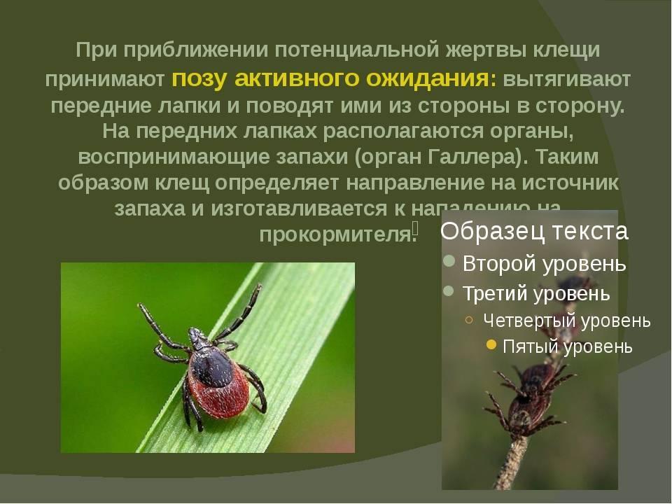 ❶ таёжный клещ (сибирский клещ) - что за насекомое и каков его жизненный цикл?