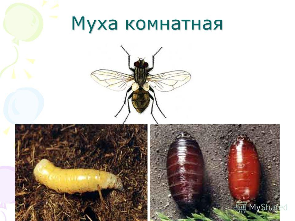 Навозная муха – фото и описание