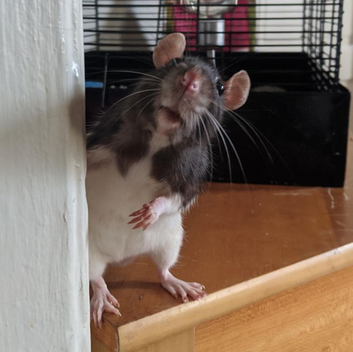 Выбор и обустройство клетки для домашней крысы
