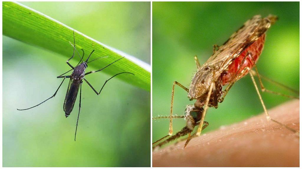 Откуда появляются комары в квартире?