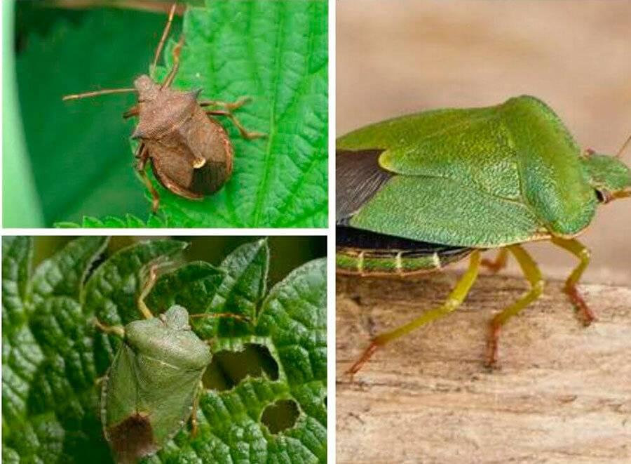 Древесный клоп в квартире: как выглядит (фото) и как вывести / как избавится от насекомых в квартире