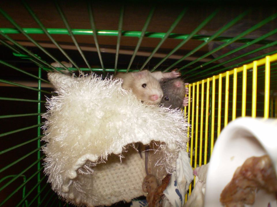 2 биологические особенности крыс / крысы