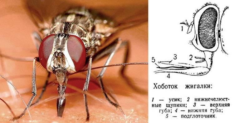 Почему к осени мухи кусаются. описание и фото укусов мух. осенние мухи жигалки