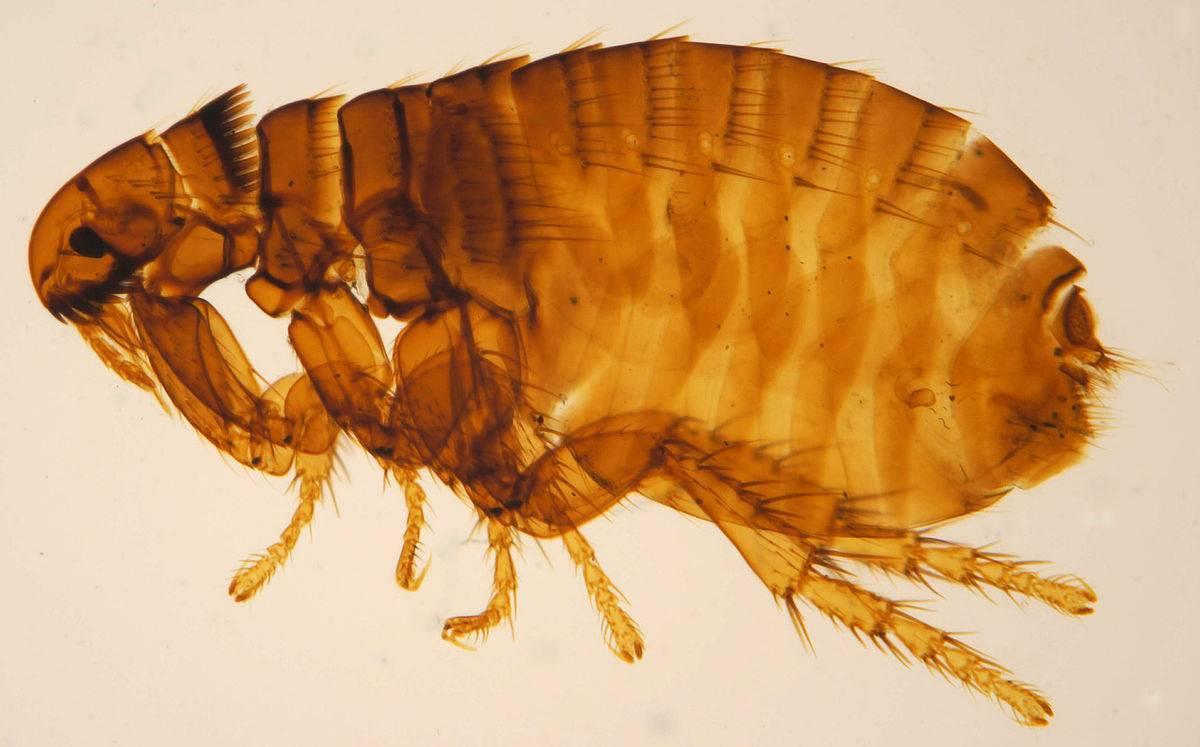 Древесные блохи: внешний вид и чем опасны укусы паразитов
