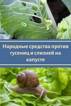 Как спасти капусту от гусениц? рекомендации, чем обработать из народных средств и химпрепаратов