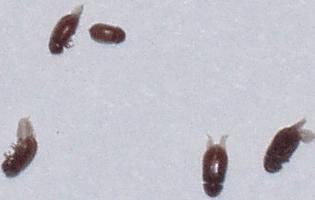 Маленькие коричневые жучки в квартире: виды насекомых, которые селятся в доме, методы борьбы