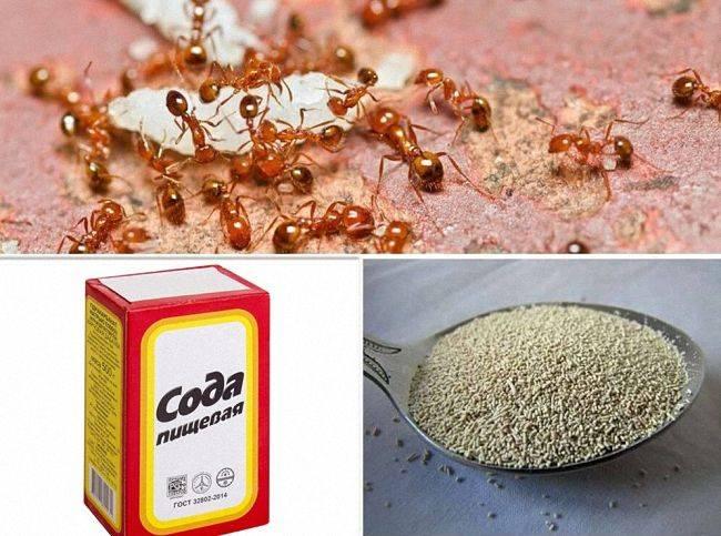Как избавиться от садовых муравьев на даче (в теплице и огороде): лучшие средства