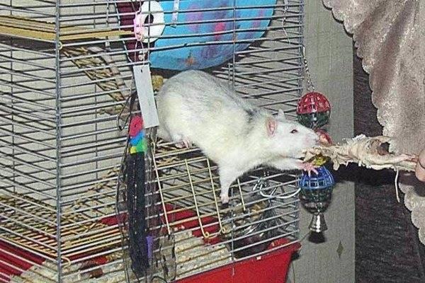 Как грамотно составить рацион для декоративной крысы