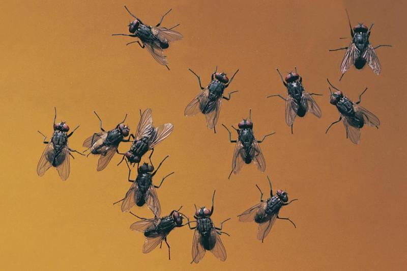 Как размножаются мухи — nasekomie