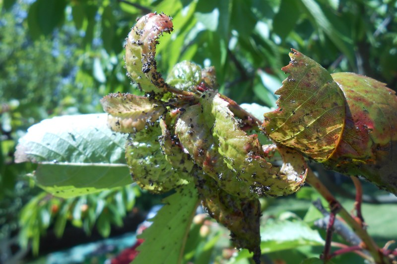 Тля на розах: как с ней бороться народными средствами и химическими препаратами
