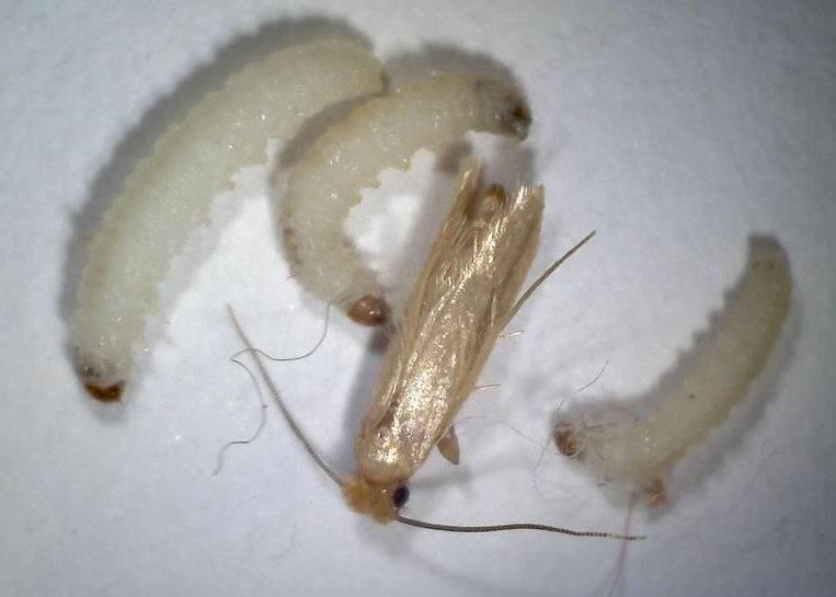 Как выглядят личинки домашней моли?