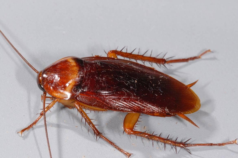 Самые большие тараканы планеты: описание и фото
