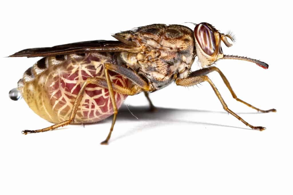Как выглядит муха цеце, где она обитает и чем опасна. описание и фото мухи цеце