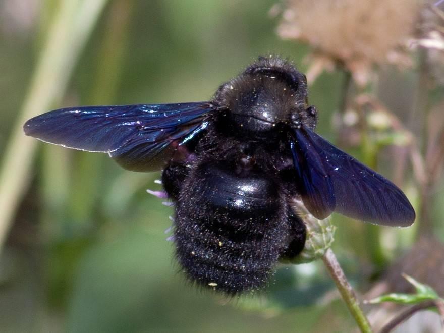 Черный шмель-плотник с синими крыльями (фото): чем опасен и какой укус насекомого
