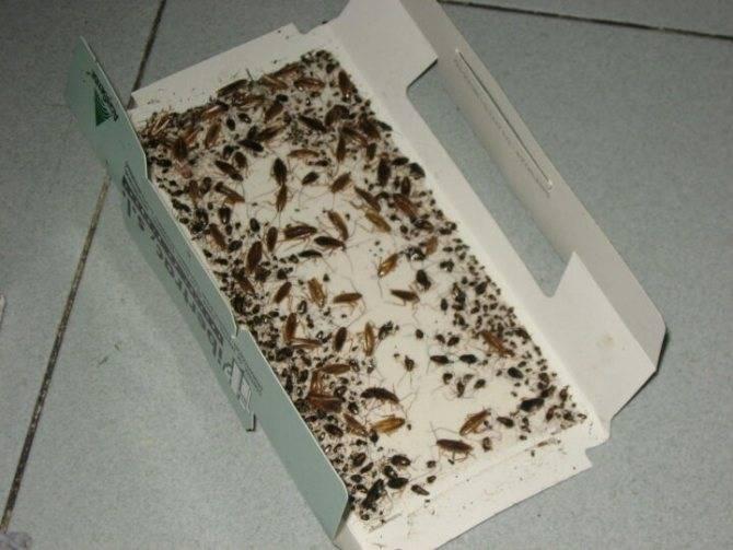 Как избавиться от черных тараканов в квартире и частном доме