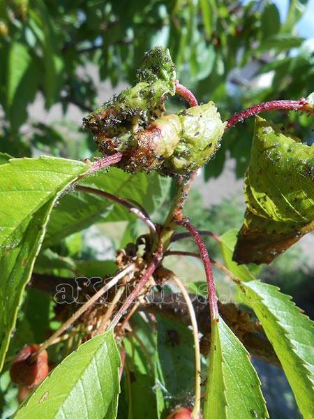Тля на черешне: чем обработать дерево от паразитов