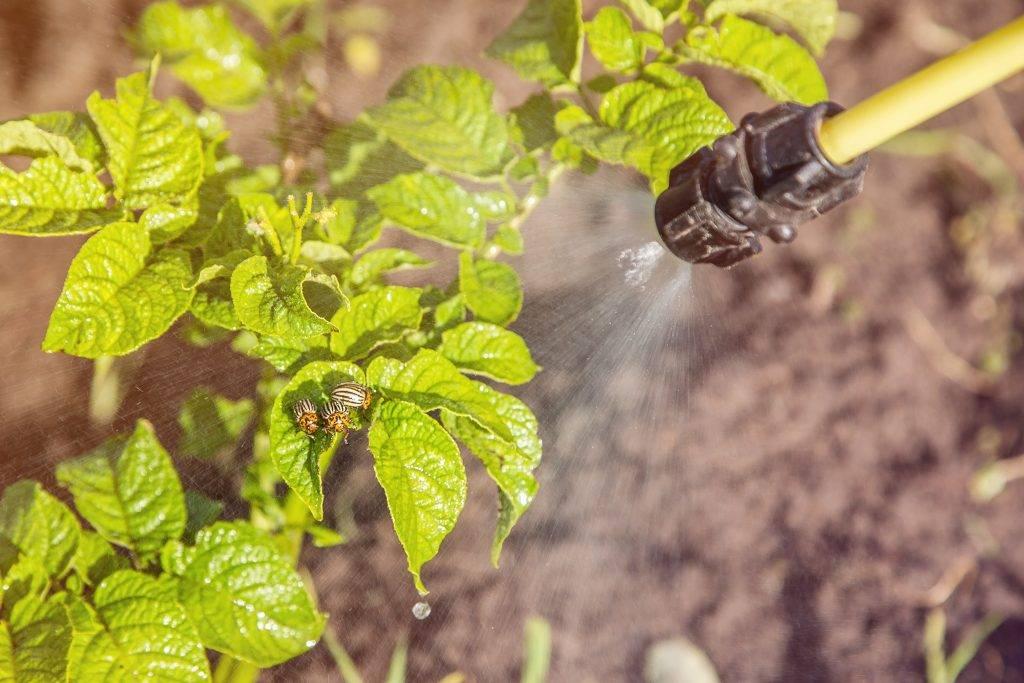Способы борьбы с колорадским жуком агротехническим методом, химическими и народными средствами