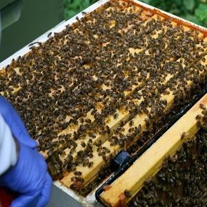 Обработка пчел от клеща весной: от каких болезней, чем обрабатывать (щавелевой кислотой, бипином, муравьиной кислотой)