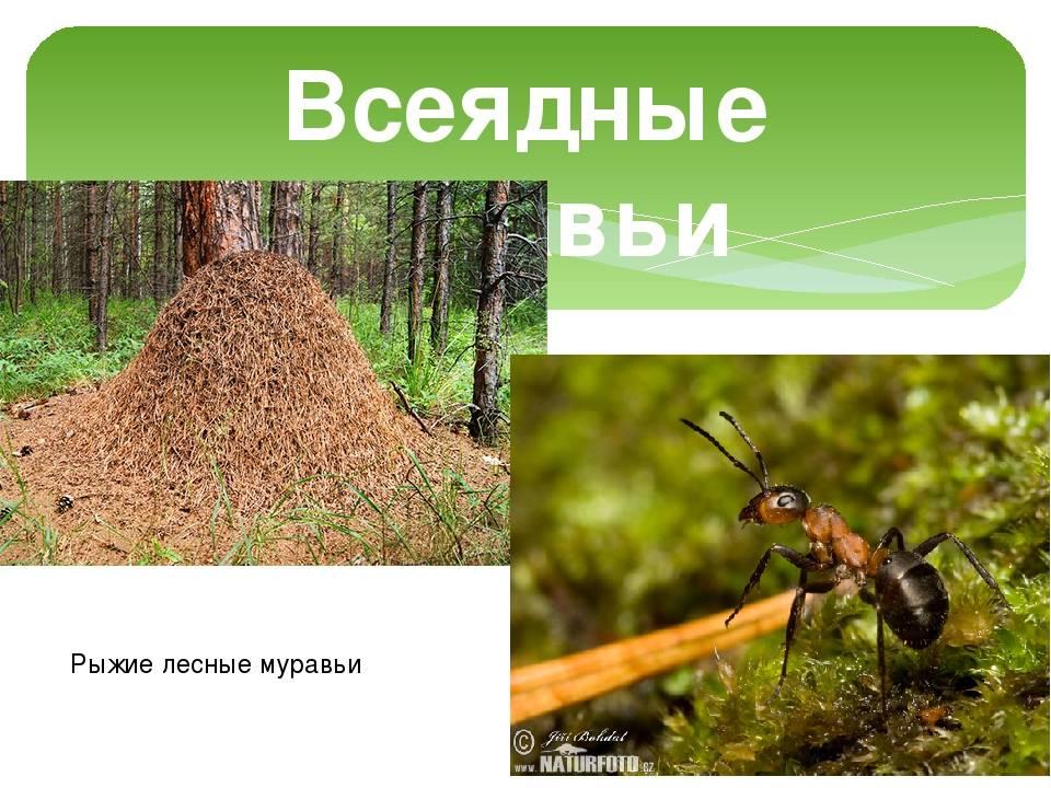 Лесные рыжие муравьи - описание и фото
