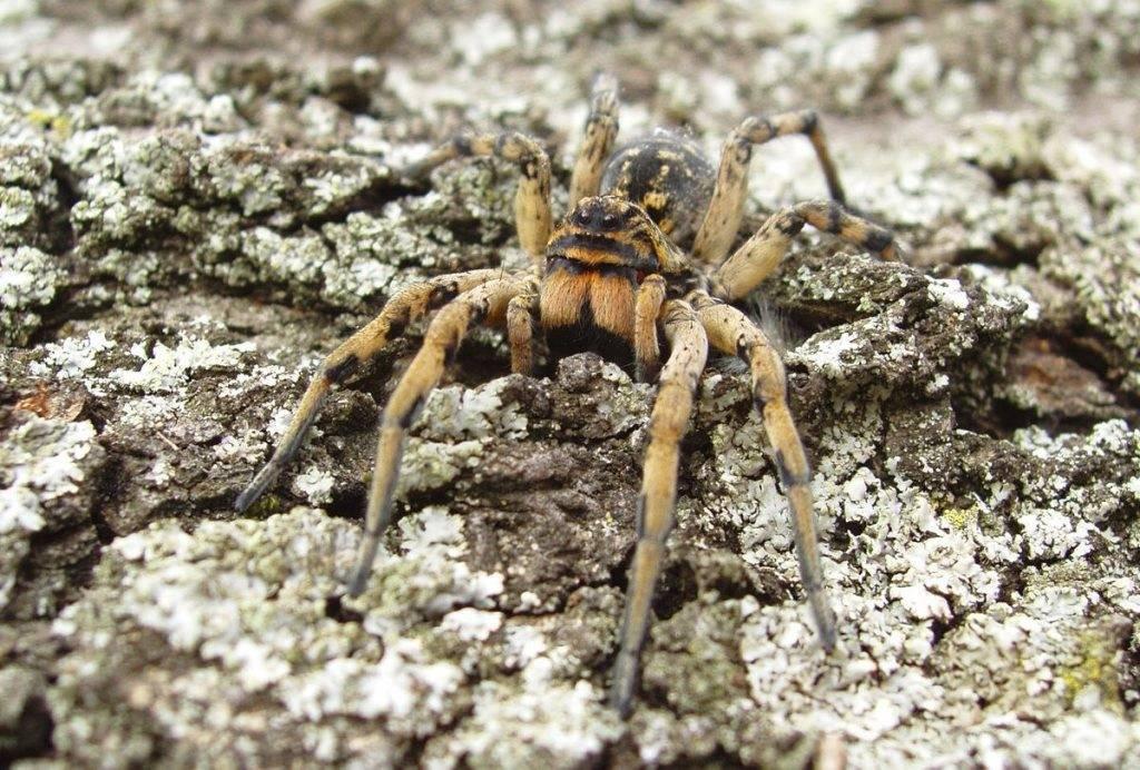 Ядовитые и не ядовитые пауки россии, какие из них самые опасные?