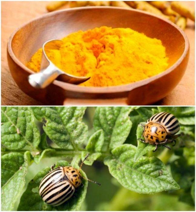 Борьба с колорадским жуком народными средствами горчицей и уксусом