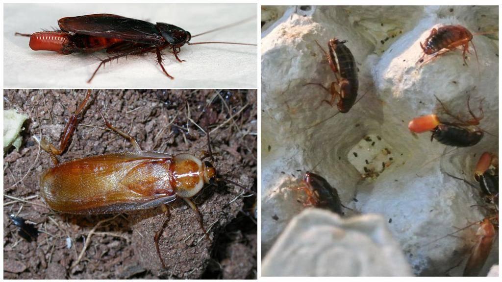 Как размножаются тараканы и можно ли повлиять на этот процесс