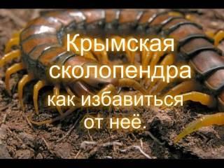 Крымская сколопендра – образ жизни, чем опасен укус для человека, как избавиться от кольчатой сколопендры?
