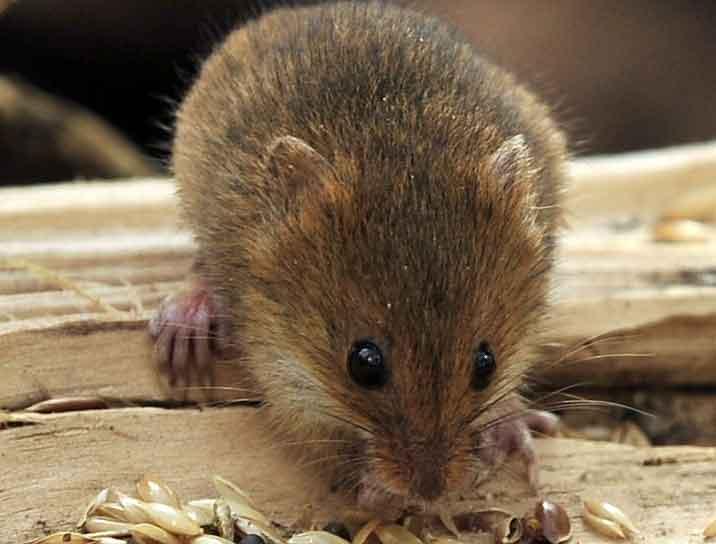Какими средствами можно напугать мышей и крыс